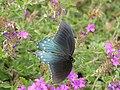 Butterfly P9080649.jpg