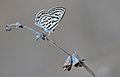 Butterfly Tarucus balkanicus - Little Tiger Blue - Balkan kaplanı.jpg