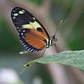 Butterfly at Chester Zoo 03.jpg