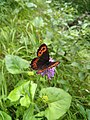 Butterfly on Flower at Fallbach 2.jpeg