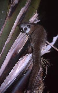 Greater dwarf lemur species of mammal