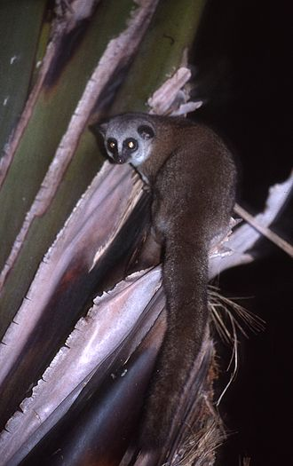 Dwarf lemur - Image: CHEIROGALEUS 1