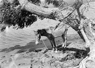 Bali Pony Horse breed from the island of Bali
