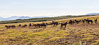 Caballos cerca de Höfn, Vesturland, Islandia, 2014-08-14, DD 021.JPG