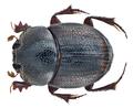 Caccobius (Caccophilus) vulcanus (Fabricius, 1801) male (13665963413).png