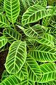 Calathea zebrina kz2.jpg