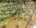 Callitriche heterophylla.jpg
