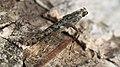 Caloptilia ?suberinella (47994831792).jpg