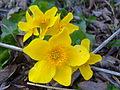 Caltha palustris Koskutjoki.jpg