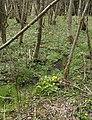 Caltha palustris Weier- und Winterbach.jpg