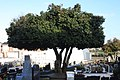 Camélia japónica no Cemitério de Agrela - 04.jpg