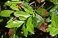 Camellia sinensis 05.jpg