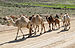Camels in Dana Reserve 02.jpg