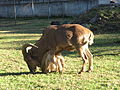 Cameroon goat.JPG