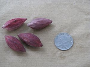 Canarium - Canarium resinieferum seeds dispersed by hornbills in Pakke Tiger Reserve