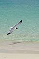 Caneel Bay Seagulls By Caneel Beach 14.jpg