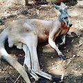 Canguro zoologico de Cali.jpg