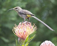 Cape Sugarbird (Promerops cafer) 2.jpg