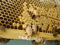 Capped emergency supercedure queen cells of the honey bee.JPG