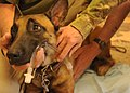 Capt Andrea Maceri, 358th Vet, Shindand Afld, measures an airway tube for military working dog.jpg