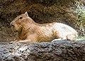 Capybara (25789958658).jpg