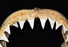 310322ecf5dab4 Witte haai - Wikipedia