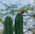 Cardon Flower.jpg