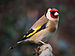 Carduelis carduelis close up 2.jpg