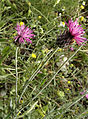 Carduus argentatus.JPG