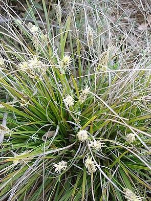 Grundblütige Segge (Carex halleriana)