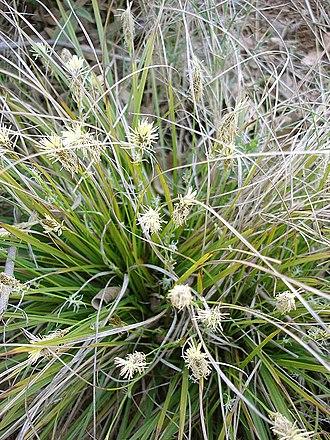 Mammoth steppe - Image: Carex halleriana
