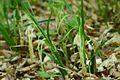 Carex pendula (7313349864).jpg