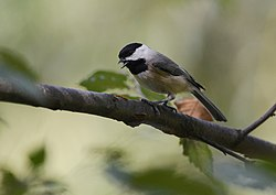 Carolina Chickadee (21108156134).jpg
