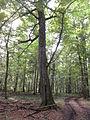 Carpinus betulus in Szczekotowo.JPG