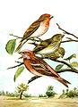 Carpodacus erythrinus & Carpodacus roseus.jpg