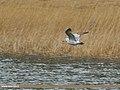 Caspian Gull (Larus cachinnans) (34414206466).jpg