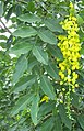 Cassia fistula-leaves-flowers.jpg