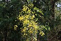 Cassia fistula flower from Savandurga IMG 2394.jpg