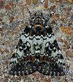 Catocala connubialis – Connubial Underwing Moth (14398208451).jpg