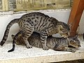 Cats Commingling - Northern Nicosia - Turkish Republic of Northern Cyprus (28188884770).jpg