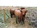 Cattle Grazing on Hadston Links - geograph.org.uk - 149371.jpg