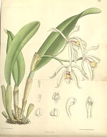 Cattleya iricolor - Curtis' 119 (Ser. 3 no. 49) pl 7287 (1893).jpg