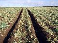 Cauliflower field - geograph.org.uk - 104126.jpg