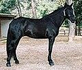 Cavall mallorqui 1.jpg