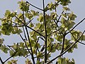 Cavanillesia platanifolia fruit flamingo gardens — Barry Stock 002.jpg