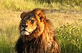 Cecil the lion (cropped).jpg