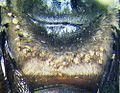 Centriacarus guahibo on bee BMOC-04-0508-239bMontage.jpg