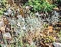 Cerastium tomentosum in Lozere (3).jpg
