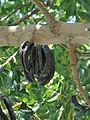 Ceratonia siliqua Keciboynuzu 1370983 Nevit.jpg