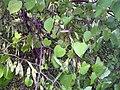 Cercis canadensis 28zz.jpg